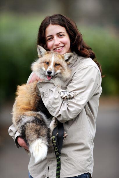El zorro tiene una excelente relación con los dos perros de su dueña.