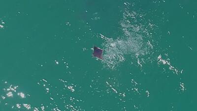 Así se ve el 'vuelo' de las mantarrayas de Costa Rica