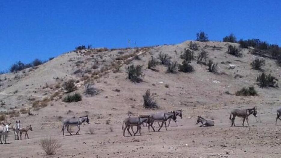 burros silvestres