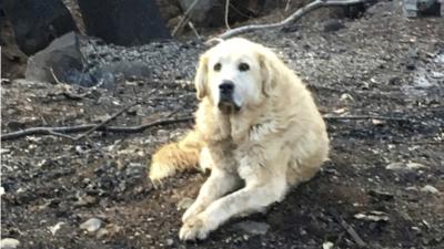 Este es Madison, el perro sobreviviente del incendio Camp que esperó a su dueña sobre los restos del que fue su hogar