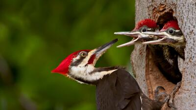 Un carpintero pileado (pileated woodpeckers).