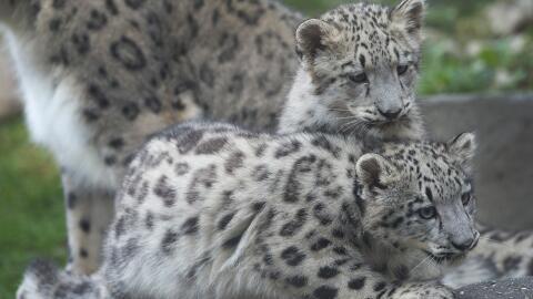 Leopardos mostraron su gracia y su porte