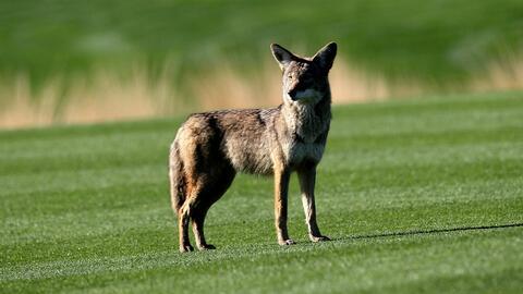 Coyotes en zonas residenciales del sur de Florida podrían comer gatos y...