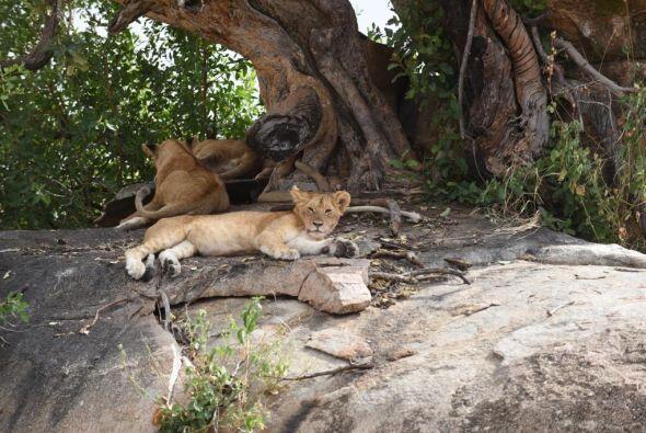 Lili captó a estos leones descansando un rato.