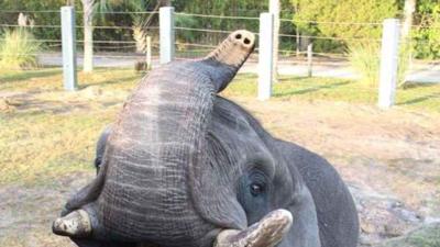 Un elefante que vivió en 'Neverland', el rancho de Michael Jackson, se escapó de un zoo en Florida