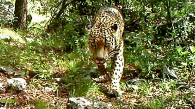 El Jefe: el último inmigrante   jaguar.jpg
