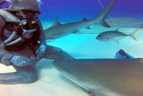 Cuando ella escoge al tiburón correcto para el encuentro, toca suavement...