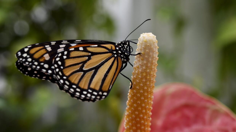 Cuatro canchas de fútbol para las mariposas monarca GettyImages-46689505...