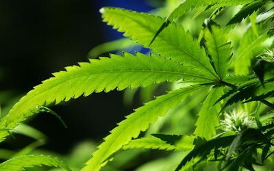 Hallan un cultivo de marihuana al interior de una vivienda en el suroest...