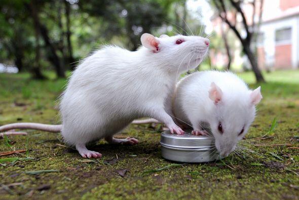 ¡Quién lo diría! Atrapar dos ratas en la misma trampa es de buenísima su...
