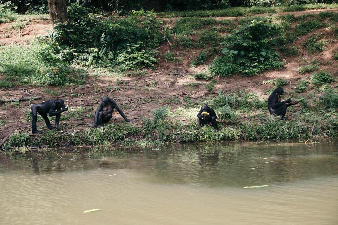 Así viven en el Congo los últimos bonobos, primates que usan el sexo com...