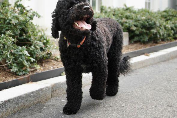 Más imágenes de Bo y Sunny, las adorables mascotas de los Obama. Mira aq...