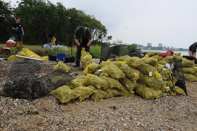 Las ostras limpian las aguas, ayudan a prevenir erosión, protegen los hu...