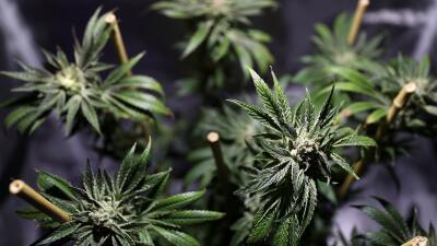Marihuana California