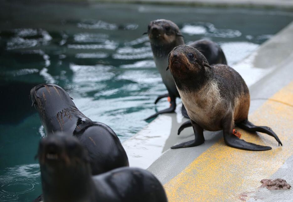 Un número récord de cachorros de lobos marinos han sido encontrados vara...