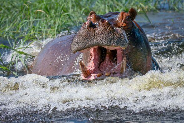 Al ver a los turistas, el hipopótamo fue rápidamente hacia ellos.