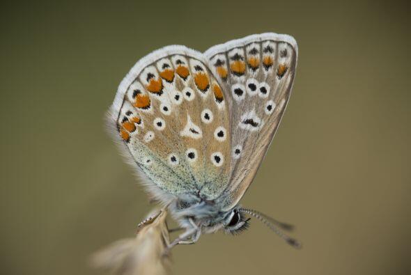 Entre más blanca es una mariposa, más suerte atraerá si pasa frente a ti.
