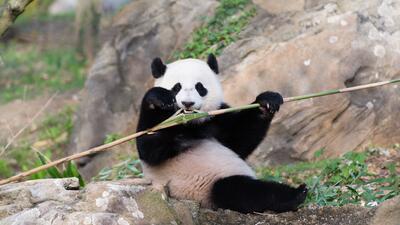 Bao Bao:  una pequeña panda que hace suspirar y reír a miles