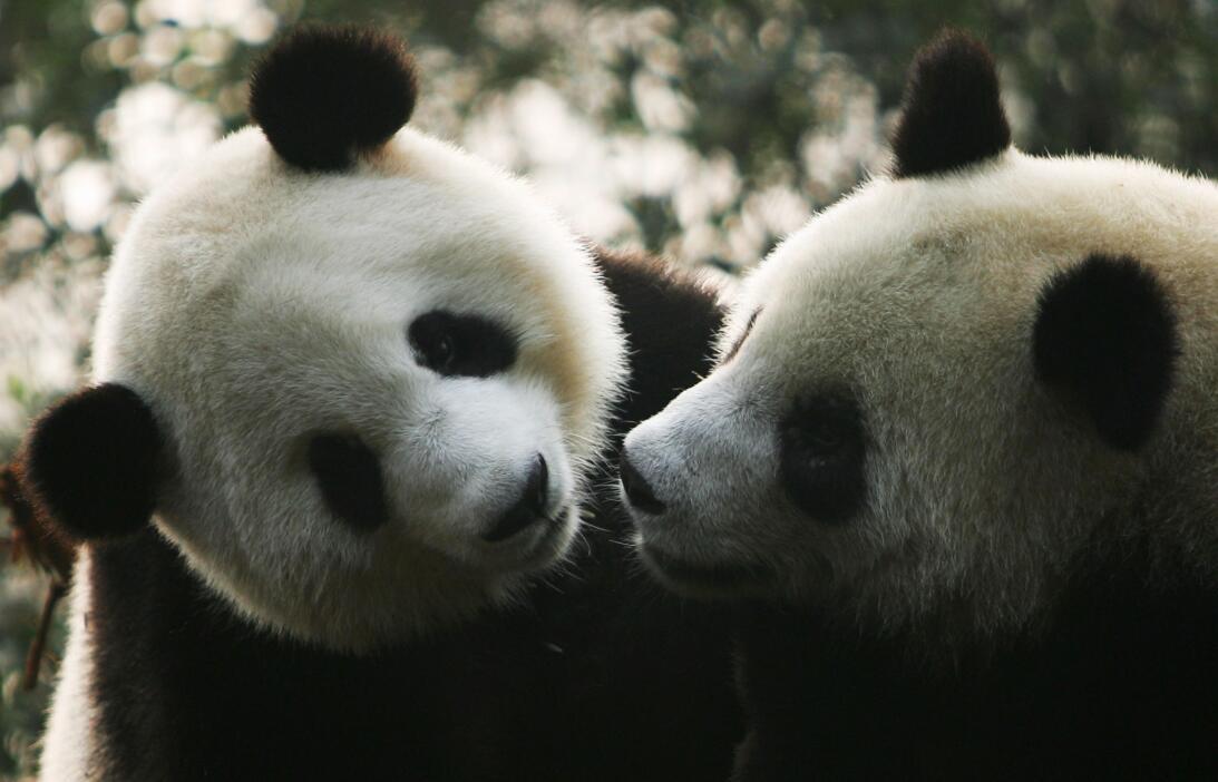 Para 'el día más romántico' del año, los pandas necesitan pornografía ge...