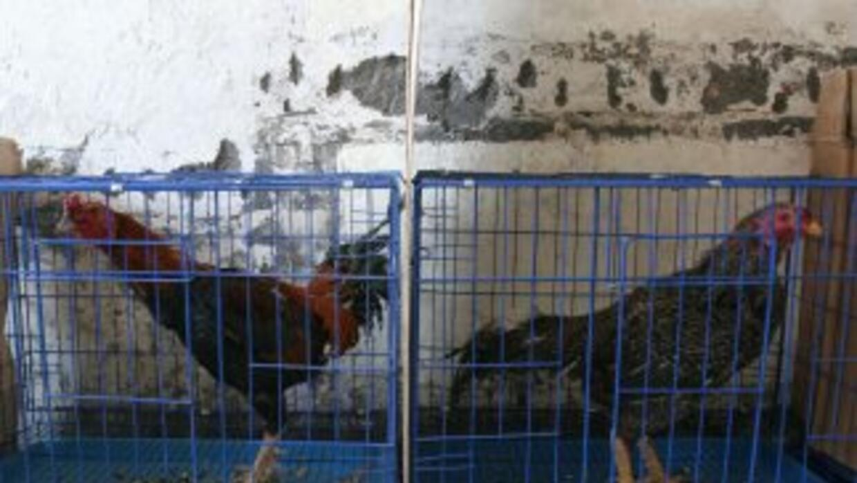 Unos 650 gallos de pelea, que eran criados por los internos de la cárcel...