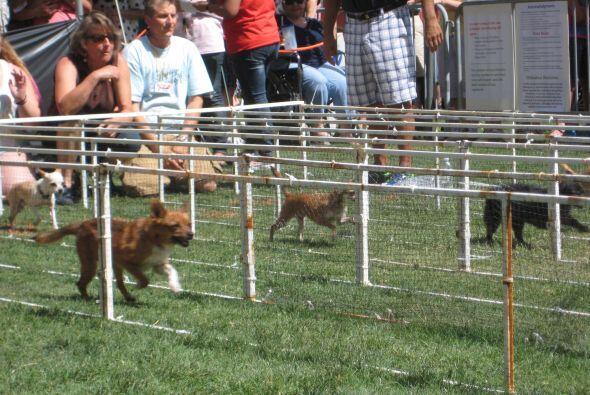 Ochenta y cuatro chihuahuas compitieron en la carrera anual número 16.