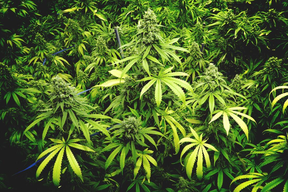 La sed del cannabis y 9 cosas que no sabías de esta hierba istock-576743...