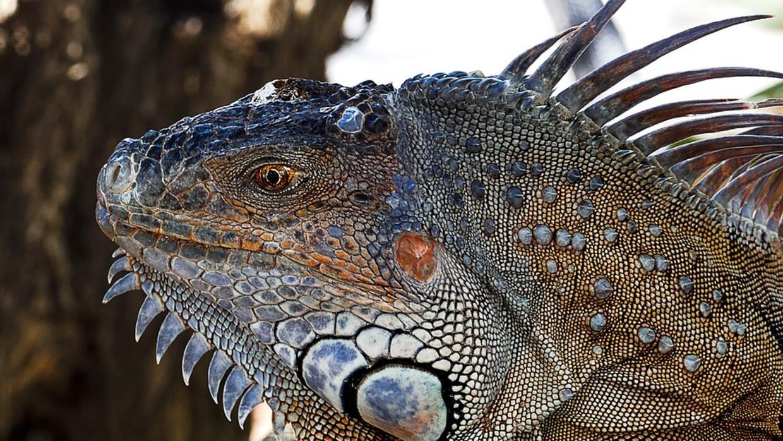 Iguana en Los Cayos