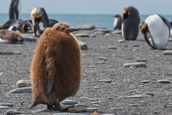 En la colonia de pingüinos rey, él sería 'el raro'.