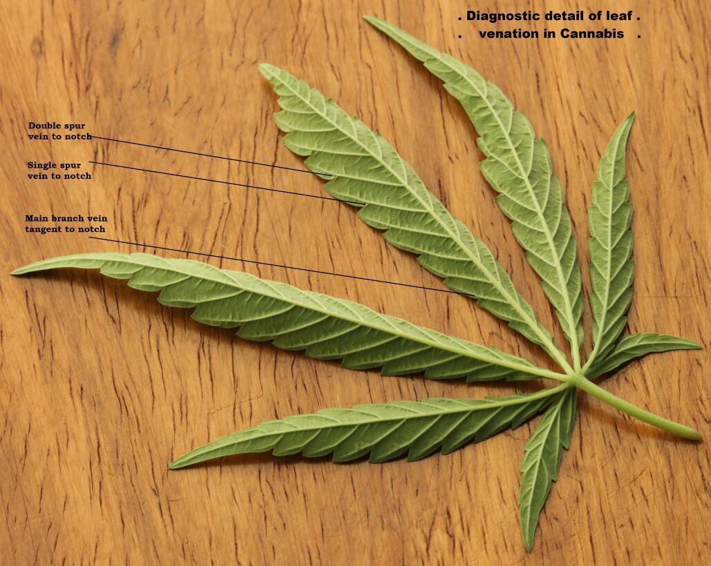 La sed del cannabis y 9 cosas que no sabías de esta hierba cannabis-sati...