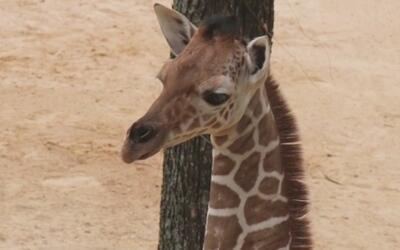 Jirafa cachorro hace su debut en el Zoológico de Dallas