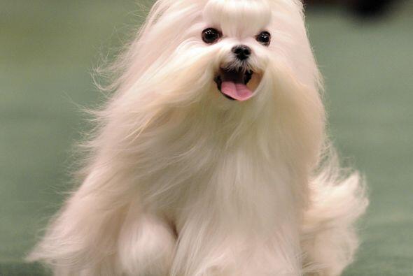 Maltés: El perrito es otra de las razas ideales para vivir en un departa...
