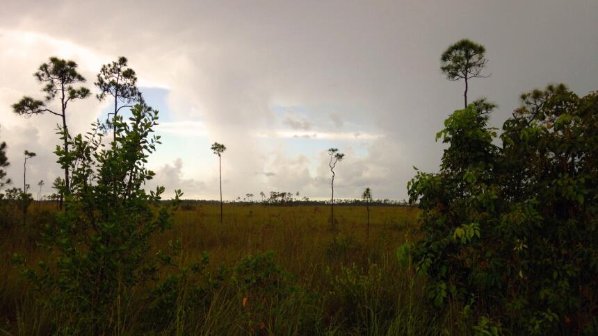 La zona de transición entre la hierba juncia y los manglares cerca del l...