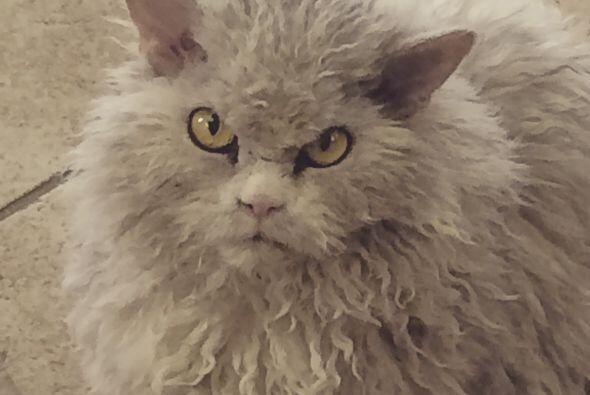 ¿No tienes ganas de acariciar a ese despeinadísimo gato?