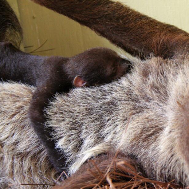Las entrañas del Zoológico de Chapultepec Close up baby sloth with mom -...