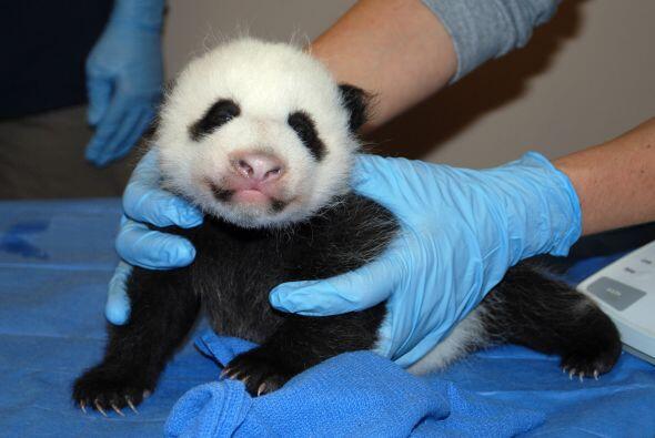 El nuevo cachorro de panda del Zoológico Nacional de Washington, que nac...