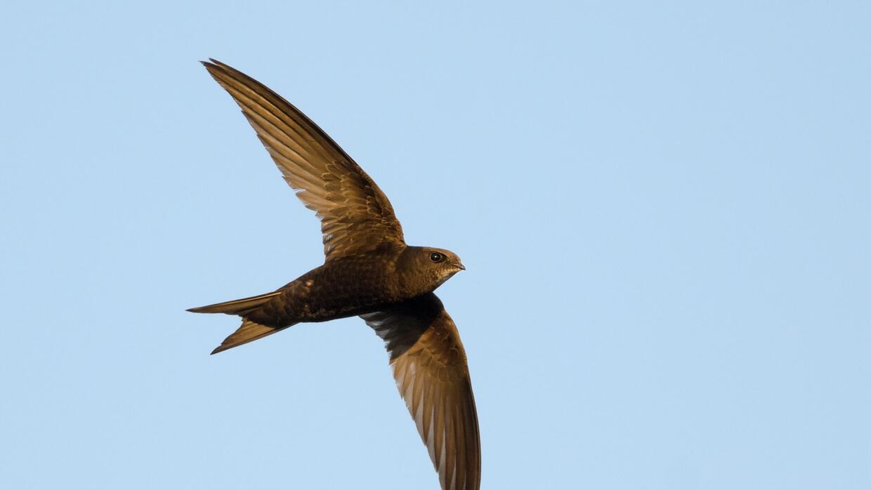 Durante la noche, estas aves se elevan a más de 6500 pies de altu...