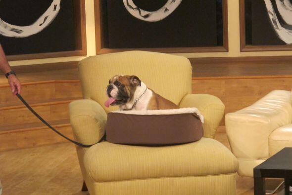 Este perrito ocupa un lugar provilegiado en el estudio de Noche de Perros