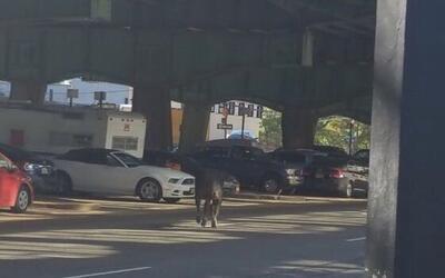 Una vaca anda suelta este martes en Brooklyn, Nueva York.
