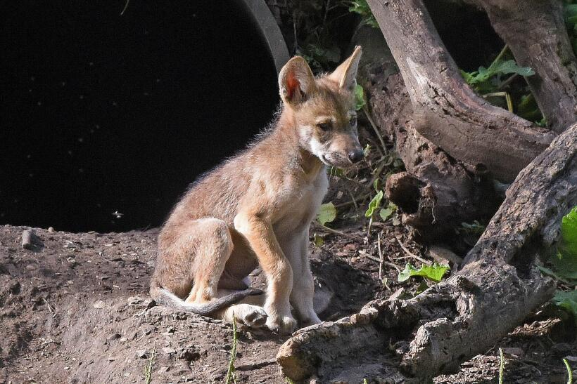 Lobos grises nacidos en cautiverio en el Brookfield Zoo de Chicago busca...
