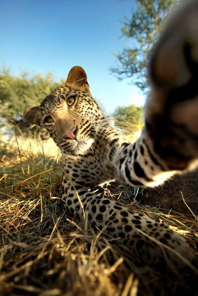 """""""En cuanto caminé hacia los leopardos ellos vieron mi cámara y fueron cs..."""