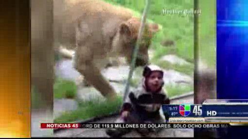 Captado en video: León trata de atacar a bebé