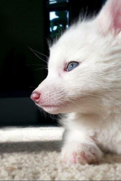 Este es un zorro albino llamado Rylai.