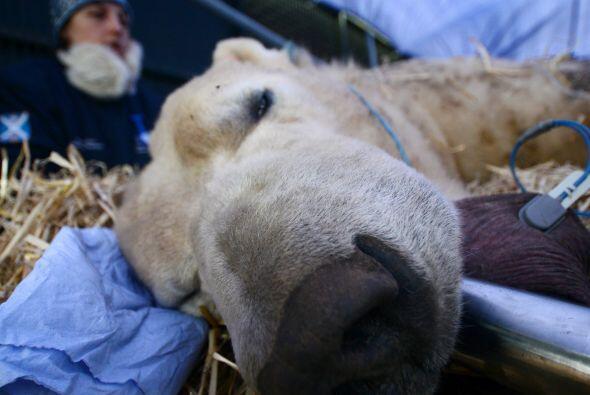 ¡Claro: este gran oso polar pesa 1,168 libras!