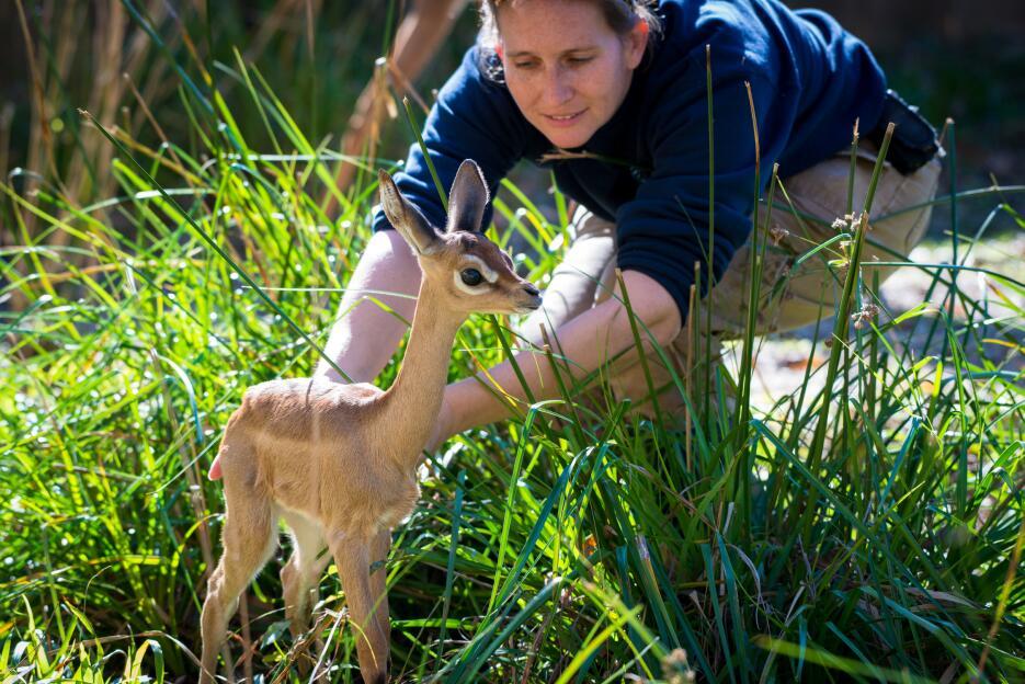 January, cría de una hembra gerenuk