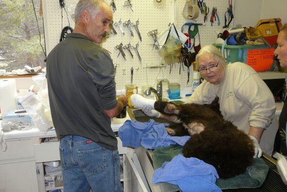 El Centro Oso Negro Idaho es para que el oso se acostumbre a otros osos...
