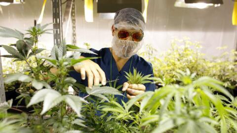 Cultivo de marihuana con fines terapéuticos en Puerto Rico.