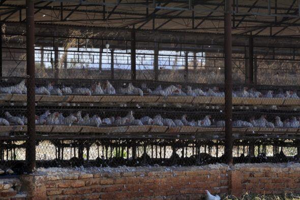 Otro brote de influenza aviar afectó a las granjas del oeste del país en...