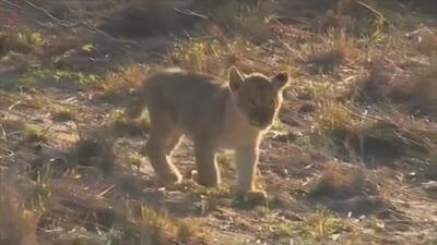 Este cachorro de león te derretirá el corazón