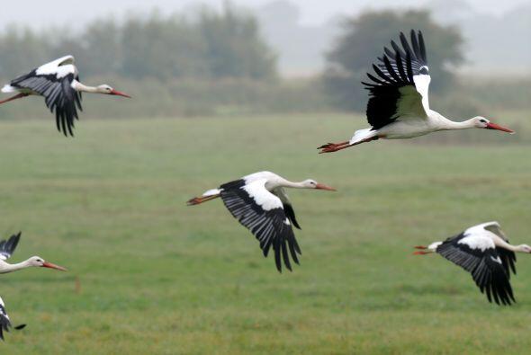 Una impresionante parvada de cigüeñas vuelan sobre un prado cerca de Gar...