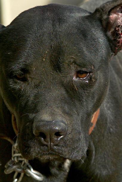 La verdad es que el Pit bull es un perro con instintos de caza muy desar...